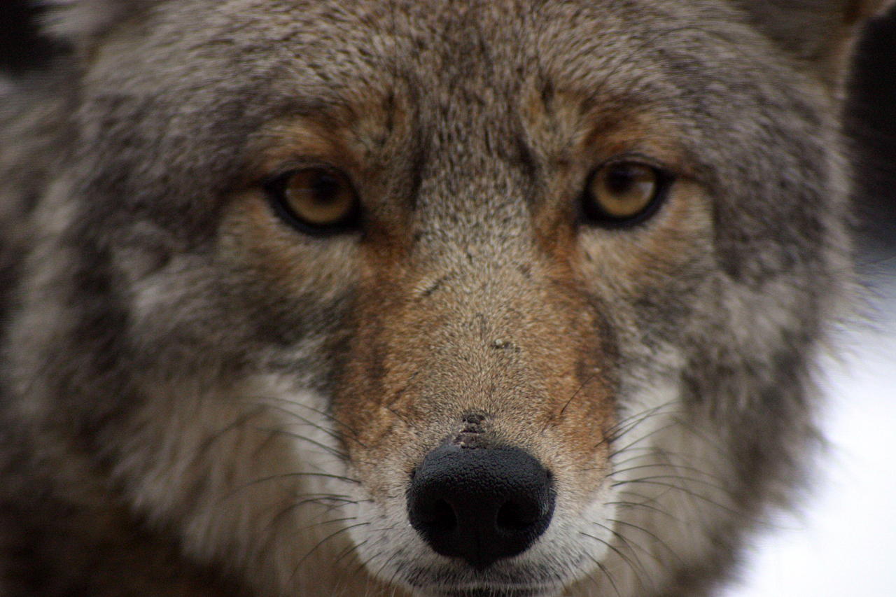 Spiew kojota 1